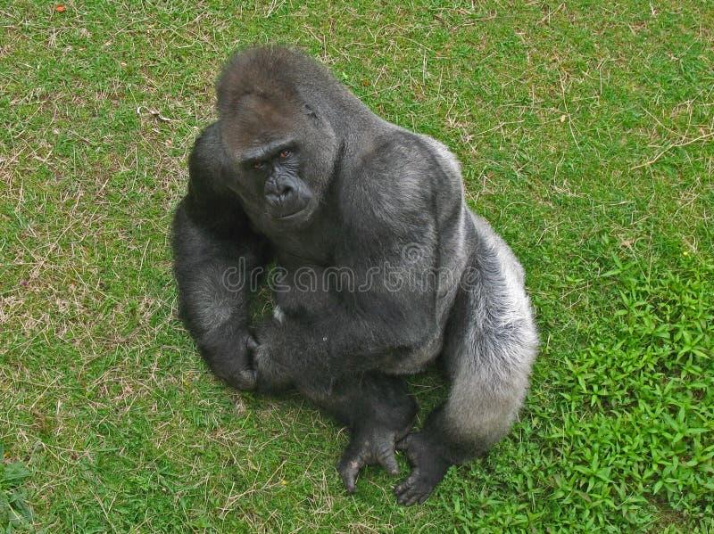 Download Gorilla Stare stock photo. Image of little, rock, silver - 12466788
