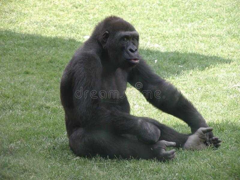 Gorilla su erba fotografia stock libera da diritti