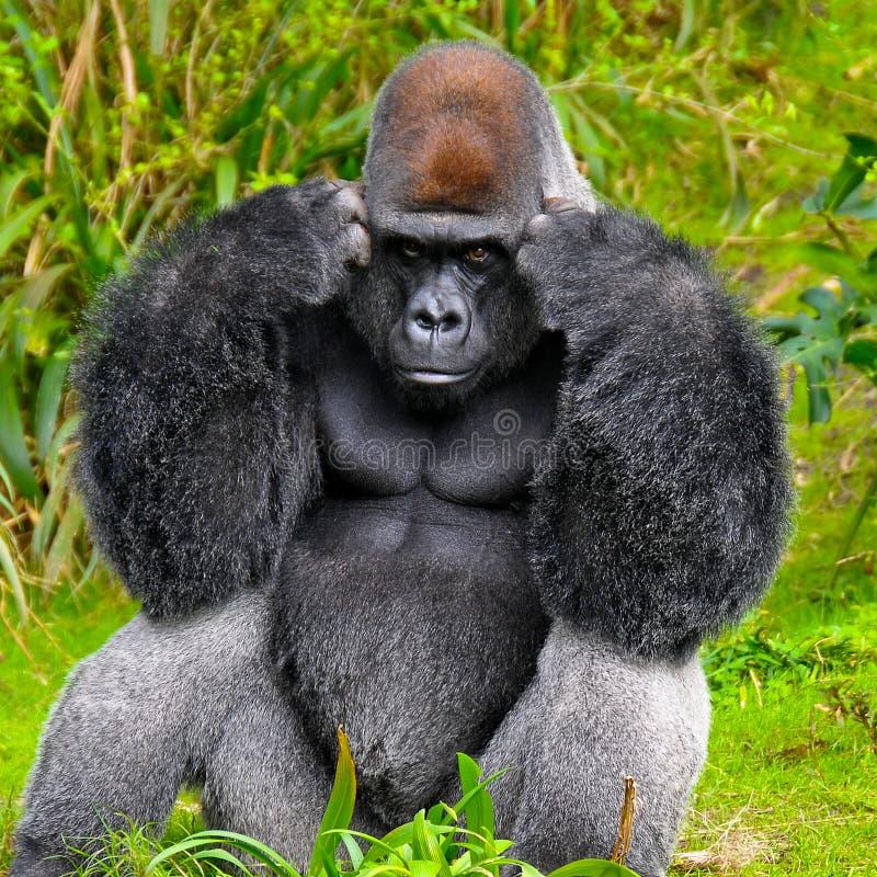 Gorilla Thinking stock photo