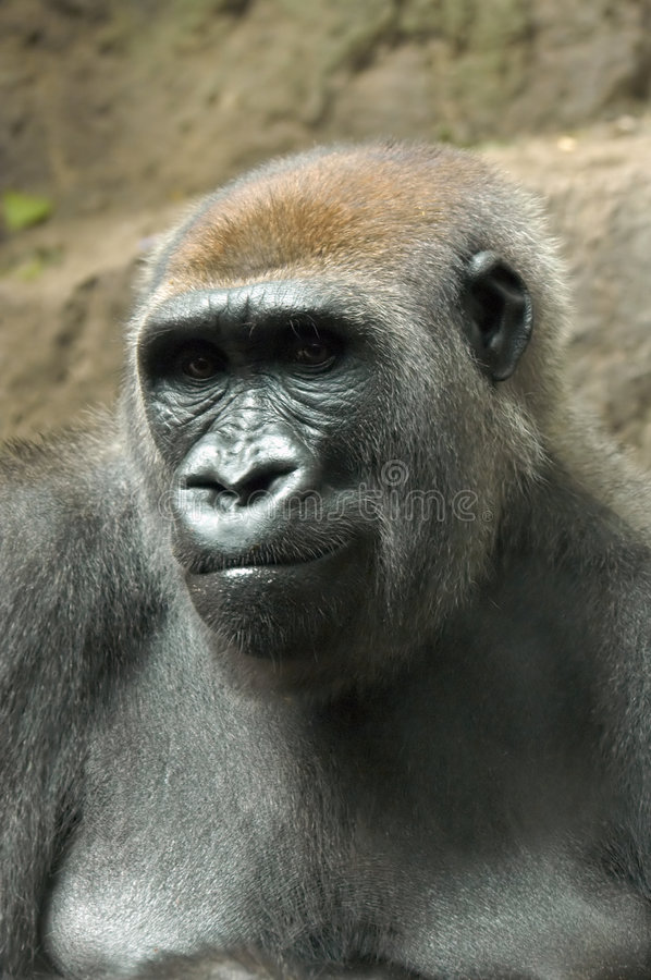 Free Gorilla Thinking Stock Image - 1909771
