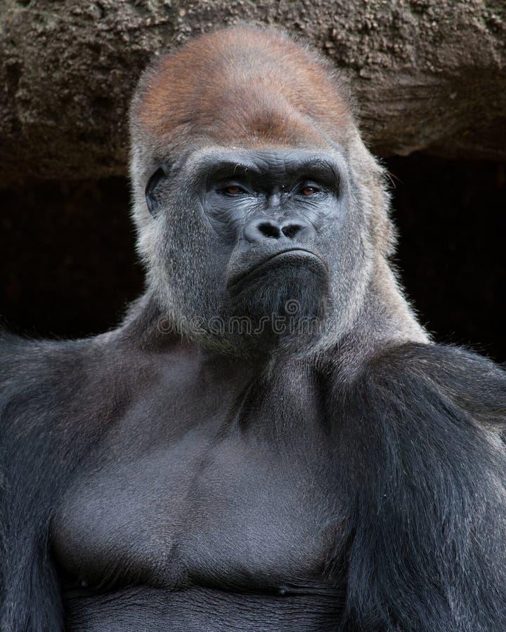 Gorilla - tuff grabb arkivfoto