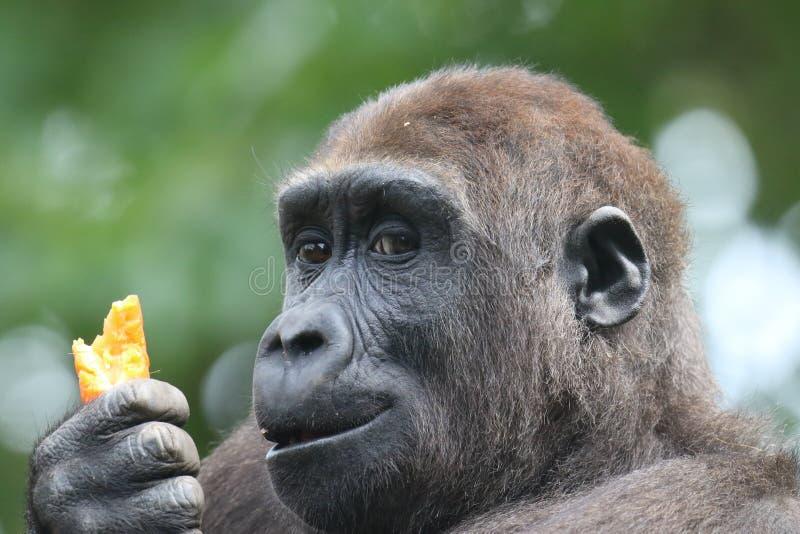 Gorilla u. Karotte stockfoto