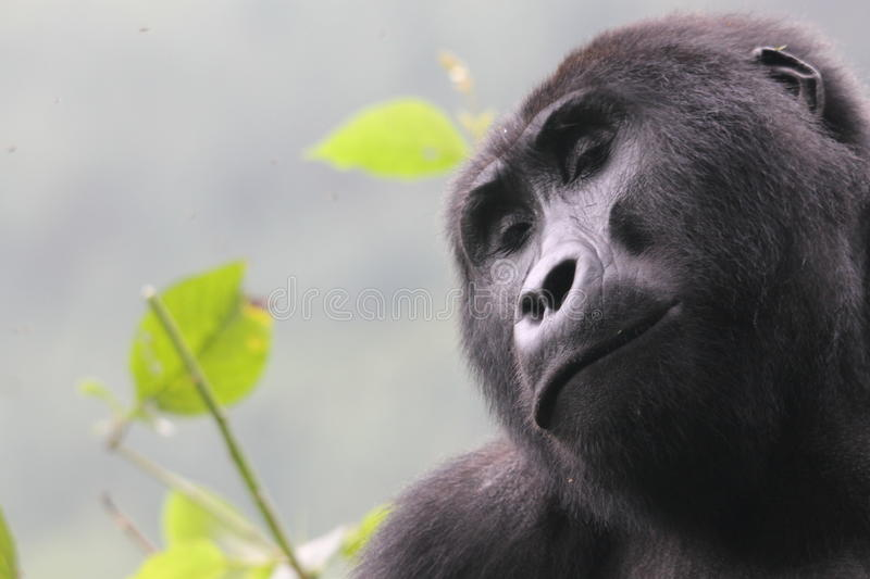 Gorilla 01. Ugandan highland black back Gorilla, in Bwindi National Park royalty free stock photo
