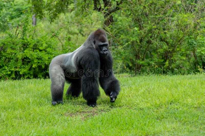 Gorilla Walking Primitively on a Sunny Day. Male Western Lowland Gorilla walking primitively on grass and looking to its side on a sunny day royalty free stock images
