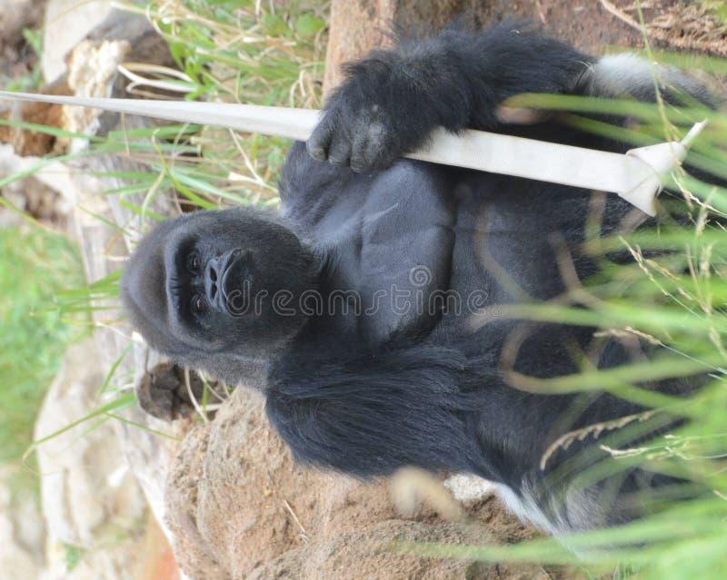 Download Gorilla warrior stock photo. Image of look, face, gaze - 26021510