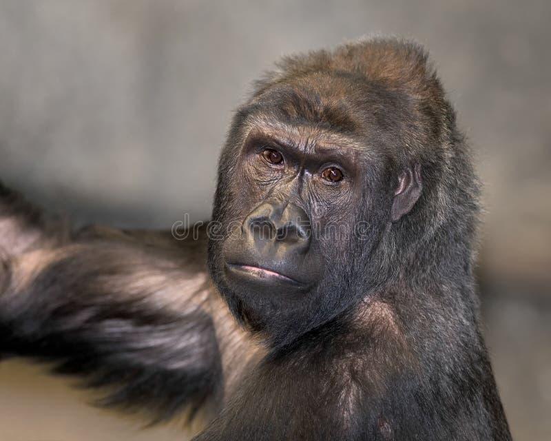 Female gorilla closeup portrait stock photography