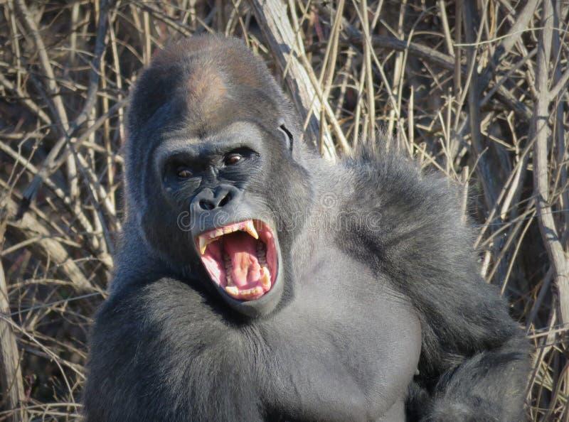 ¡Gorilla Yawning Like King Kong! foto de archivo