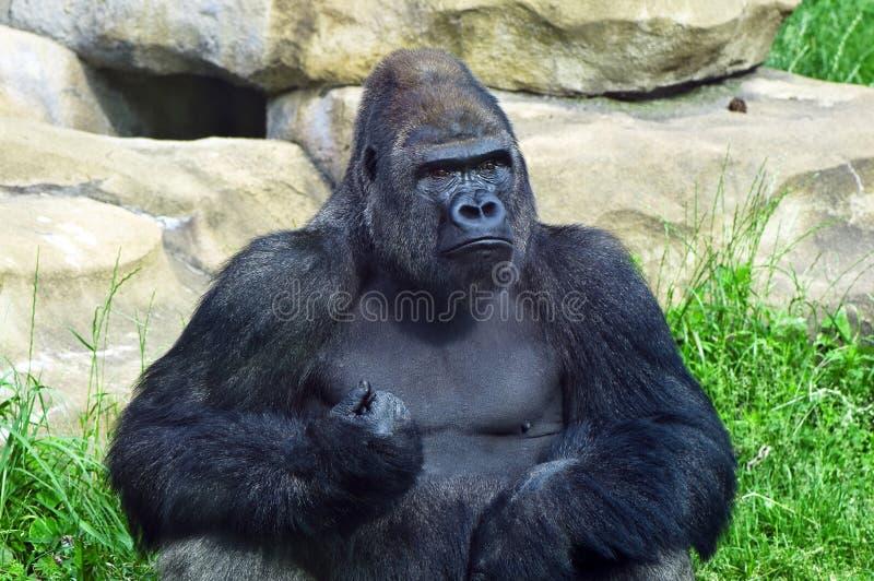 Gorilla am Zoo stockfotografie