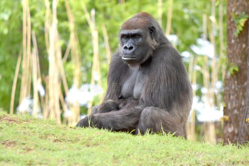 Gorilla, zoo di Oklahoma City immagine stock libera da diritti