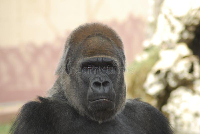 Gorilla zorgvuldig stock afbeelding
