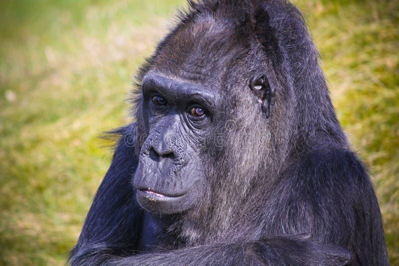 Gorillaanstarrenuntersuchung das Kameraobjektiv-Kopfporträt mit aus Hintergrund des grünen Grases des Fokus heraus lizenzfreie stockfotografie