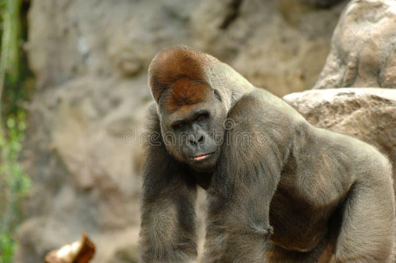 Gorillaaufstellung stockfoto