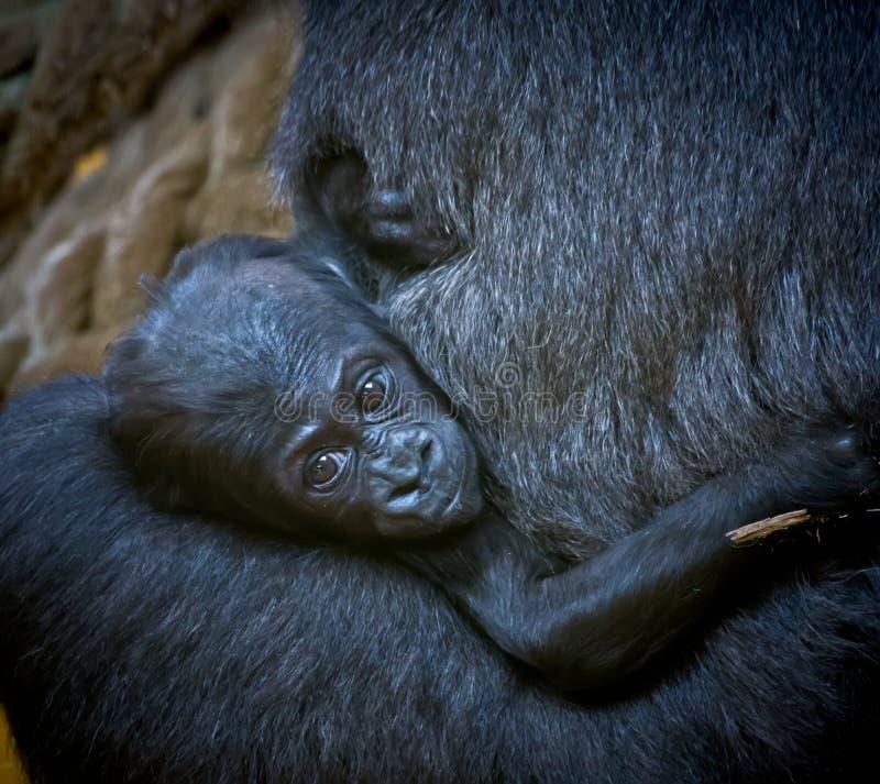 Gorillababy lizenzfreies stockfoto