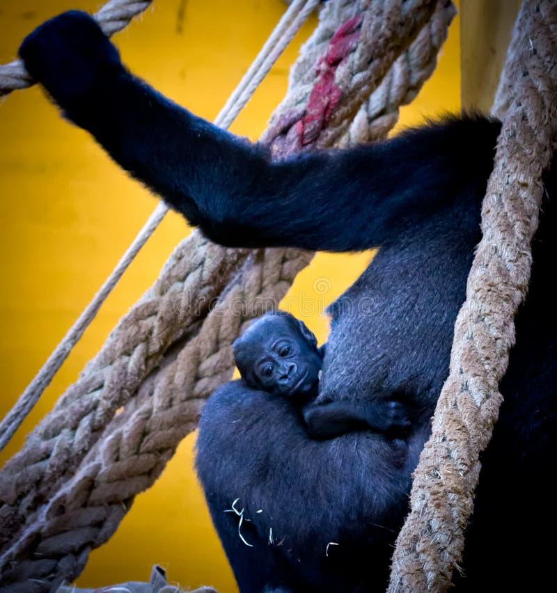 Gorillababy stockfotos