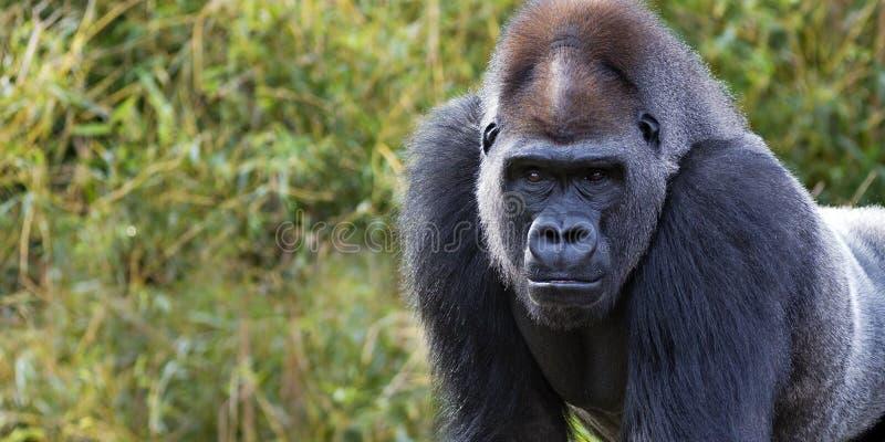 Gorillabanner royalty-vrije stock foto's