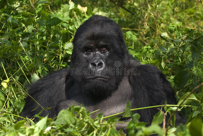 gorillabergsilverback royaltyfria bilder