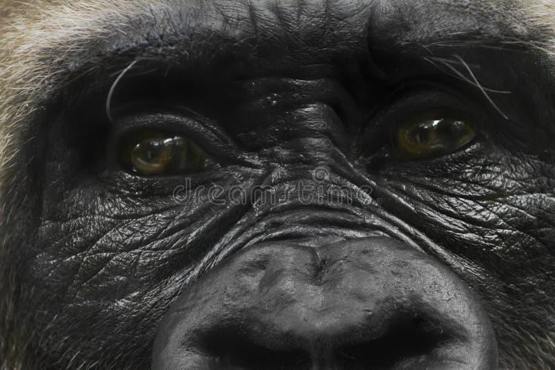 Gorillaflüchtiger blick stockfotografie