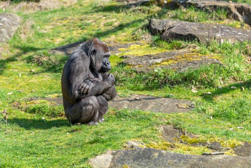 Gorillafrau wartet auf sie, um zu essen lizenzfreie stockfotos