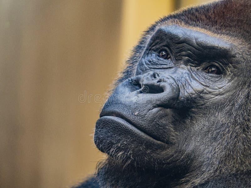 Gorillagesichtsanstarren stockfoto