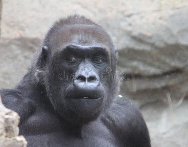 Gorillagorilla royalty-vrije stock foto