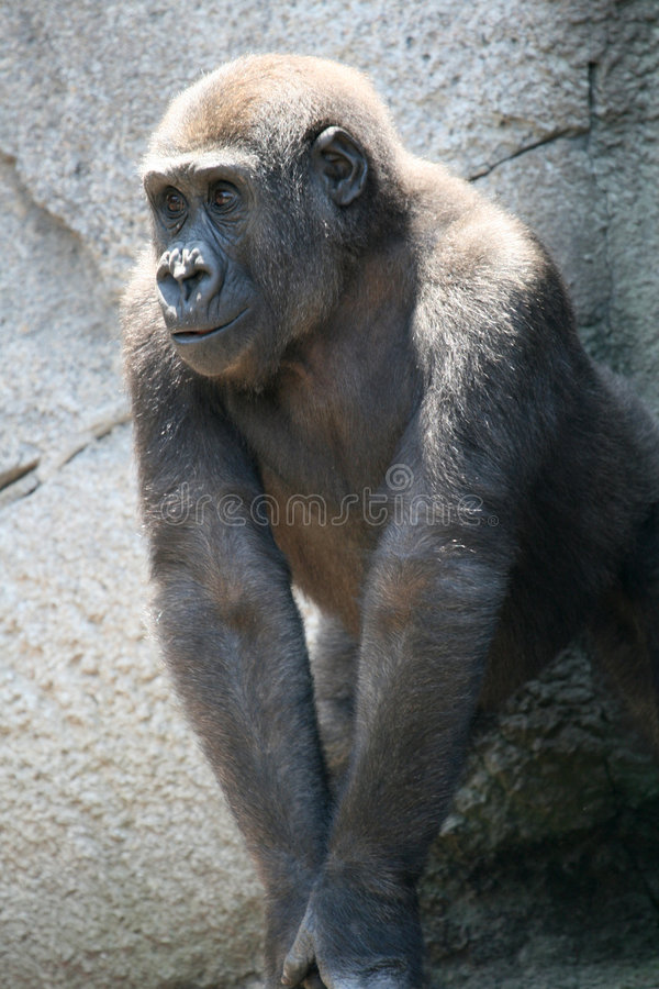 Gorillakind stockfotos