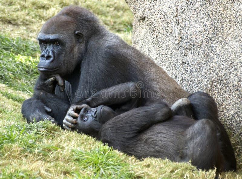 gorillalowland två fotografering för bildbyråer