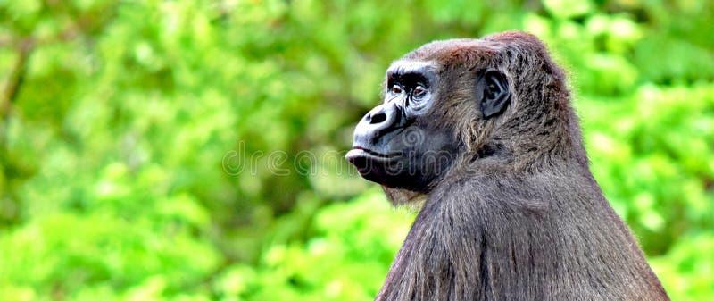 Gorillan oklahoma cityzoo, OKC, kvinnlig med behandla som ett barn arkivbilder