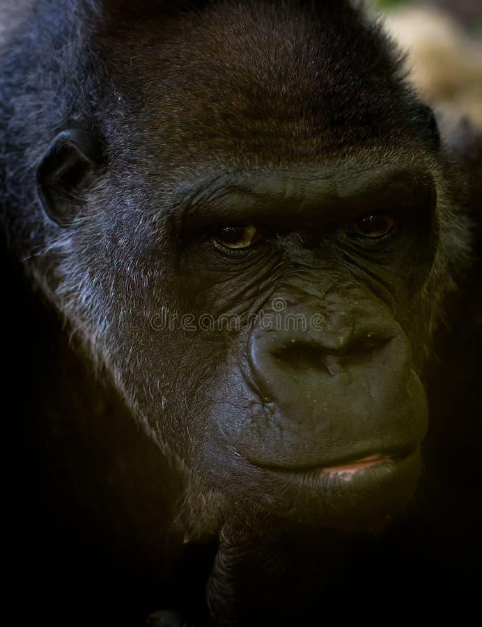 Gorillaporträt stockfoto