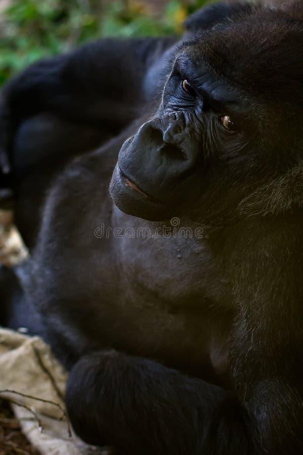 Gorillaporträt stockfotografie