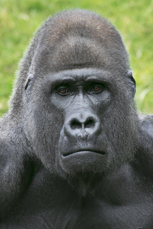 Gorillaporträt ein t der Zoo stockfotografie