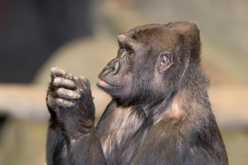 Gorillaprofilporträt lizenzfreie stockfotos