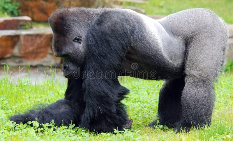 gorillas immagine stock
