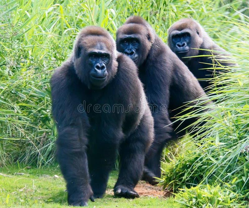 Gorillas auf einer Spur stockbilder