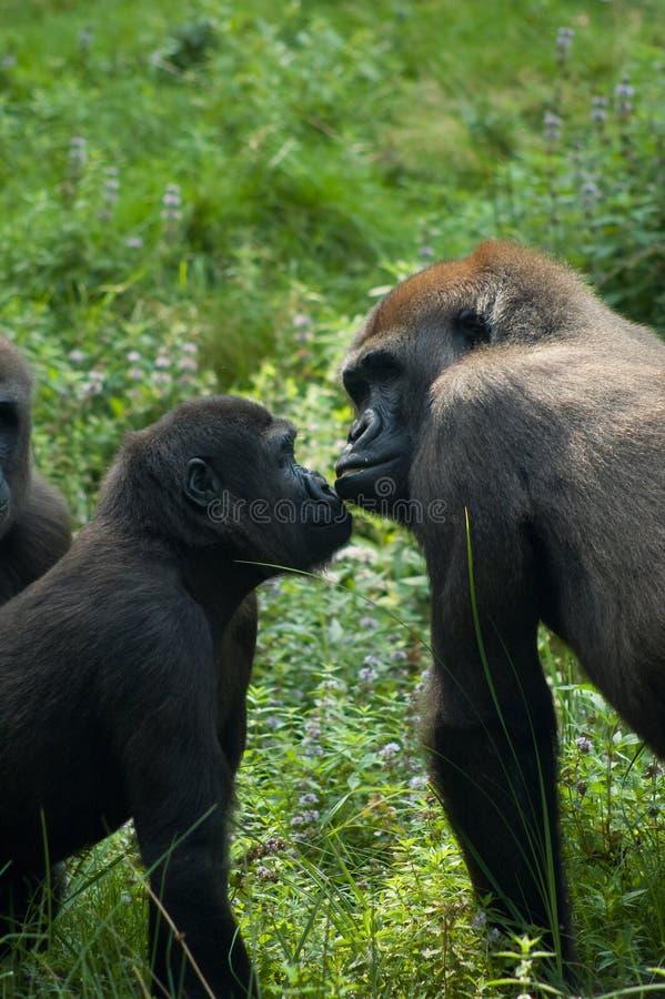 Gorillas in der Liebe stockbild