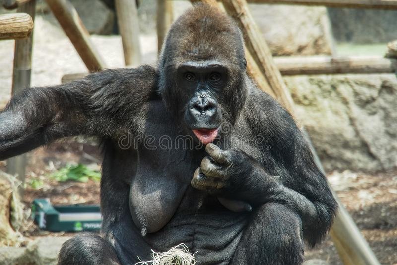 An old gorilla women in a german zoo stock photography