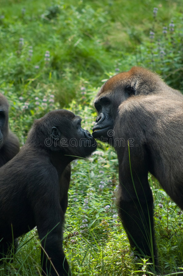 Gorillas in love stock image