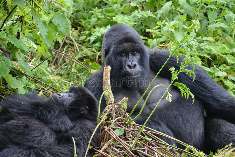 Gorillas resting in the jungle of Rwanda. Looking at the camera stock photography