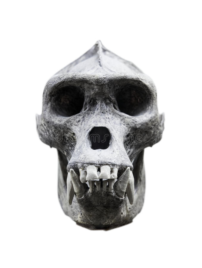 Gorillas Skull On The White Background Stock Image - Image of ...