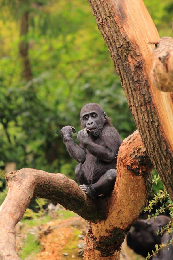Gorillaschätzchen stockfoto