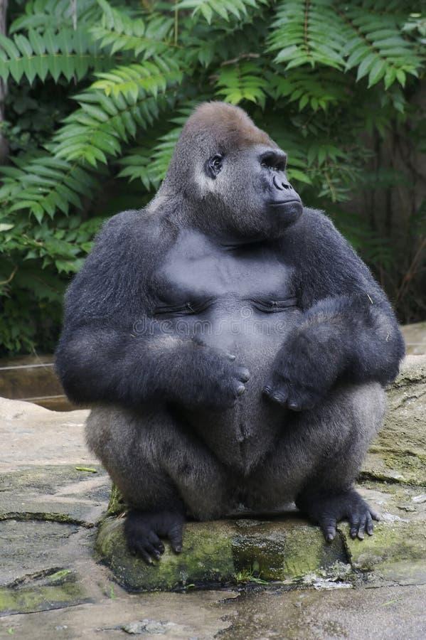 gorillasilverback arkivfoton