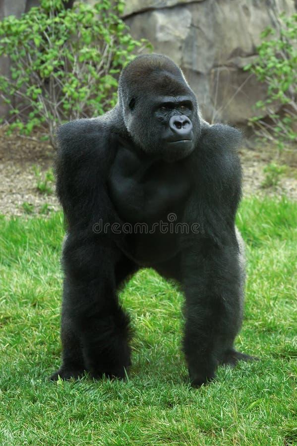 Download Gorillasilverback fotografering för bildbyråer. Bild av endangered - 228085