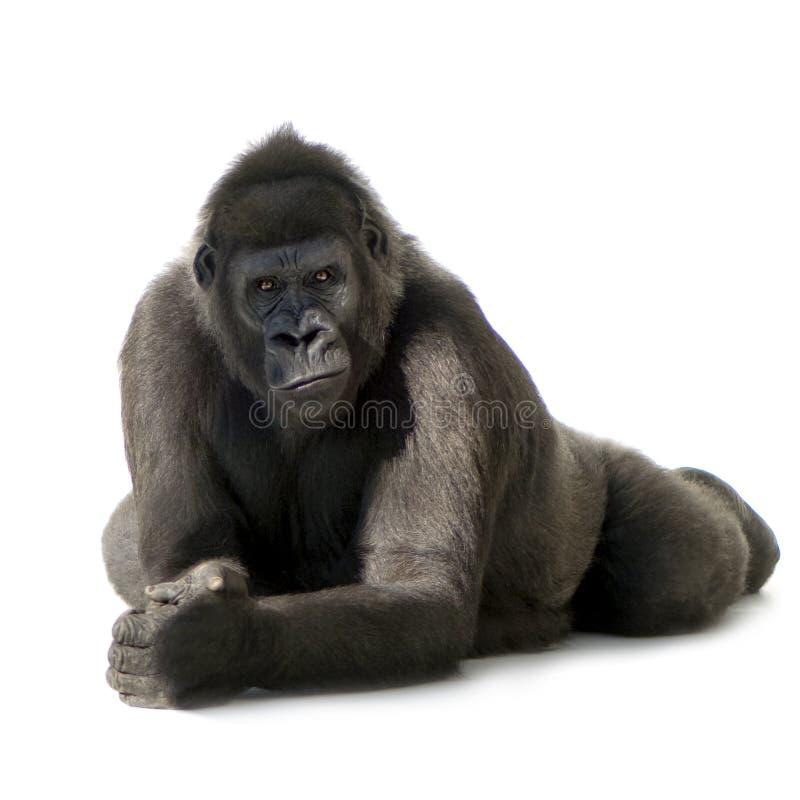 gorillasilverbackbarn arkivfoto