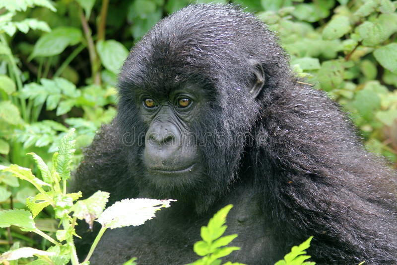 Gorillastirrande royaltyfria bilder
