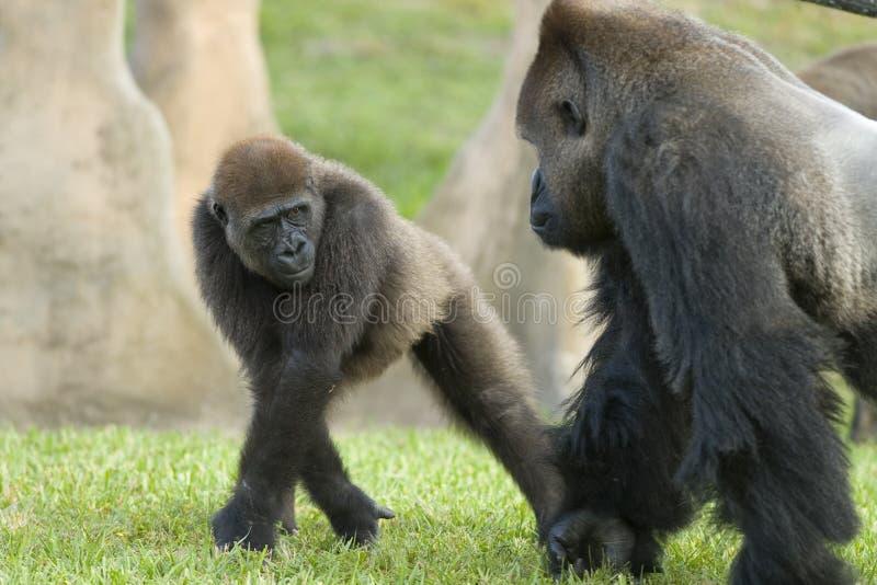 Gorilles photo stock