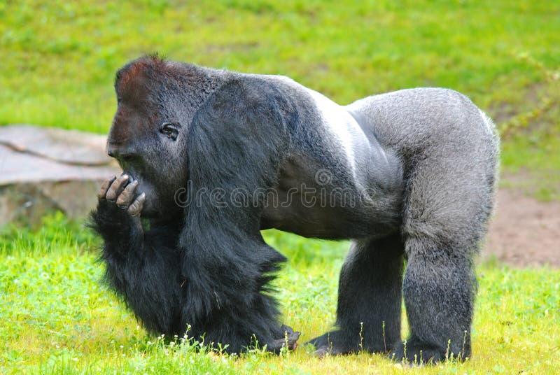 Gorille photographie stock
