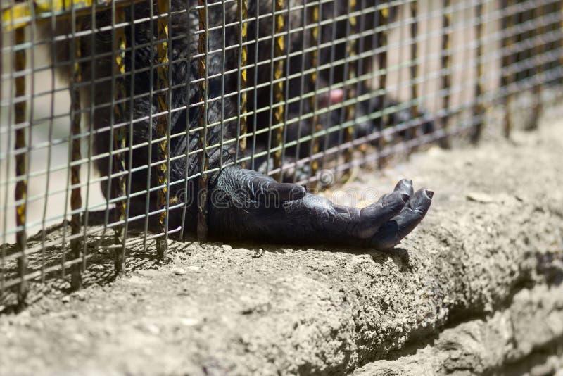 Gorille captif photographie stock libre de droits