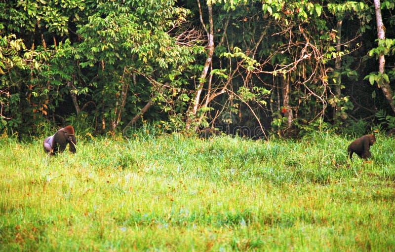 Gorille dans la jungle au Congo images stock