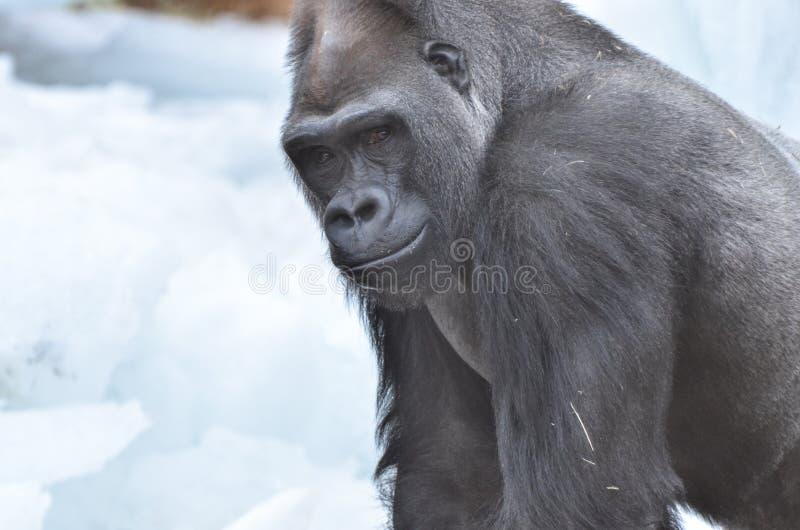 Gorille dans la neige photo libre de droits