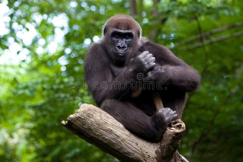 Gorille dans un arbre image stock