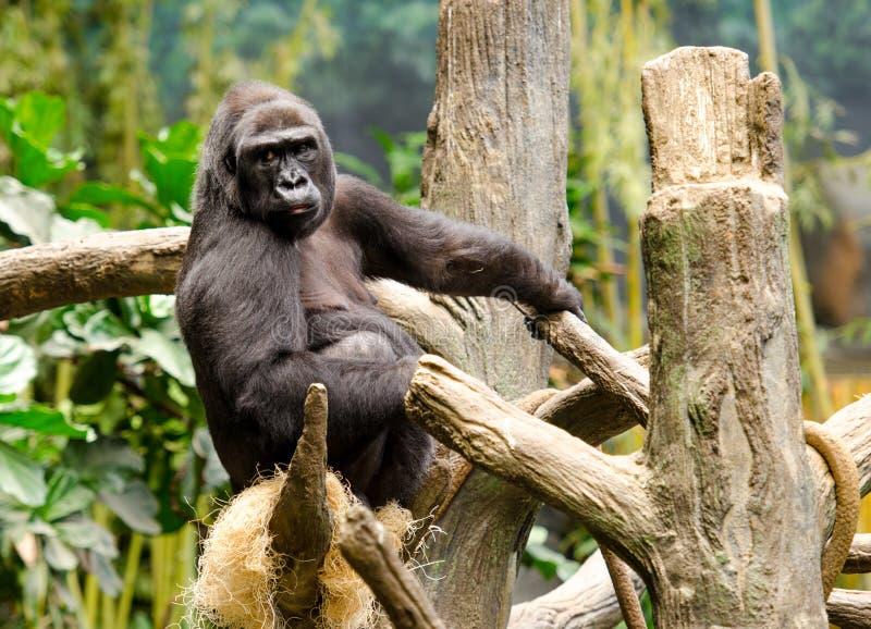 Gorille dans un arbre photographie stock libre de droits